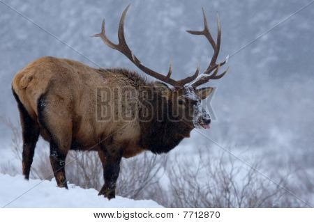 Elk In Winter