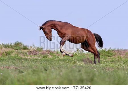 Young brown horse galloping, jumping on green grass on a background cloudy sky