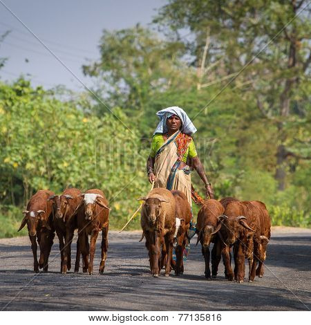 HAMPI, KARNATAKA, INDIA - FEBRUARY 1, 2013: An unidentified Indian woman leads her goats to the pasture on February 1, 2013 in Hampi, Karnataka, India.