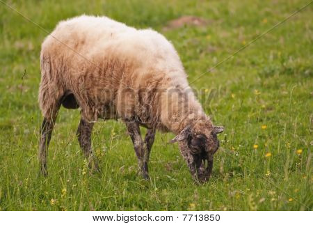 Sheep On A Pasture In The Countryside Meadow
