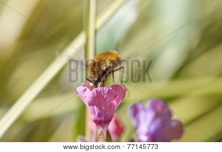 Bee Fly Collecting Pollen