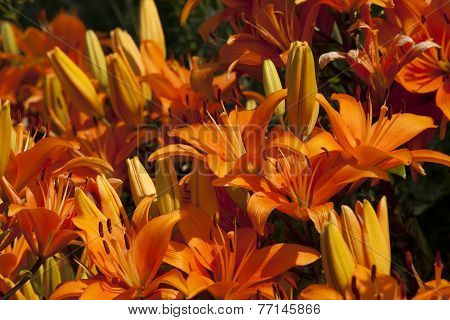Asiatic Lilys
