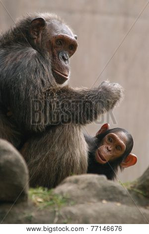 Chimpanzee (Pan troglodytes) with a baby.