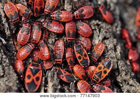 Firebug Insects