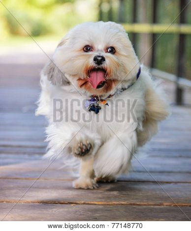 a white mixed breed dog at a public nature park running across a bridge