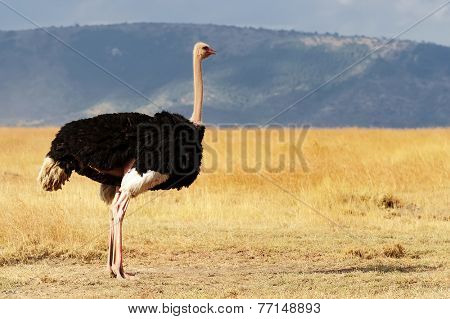 A ostrich (Struthio camelus) on the Masai Mara National Reserve safari in southwestern Kenya.