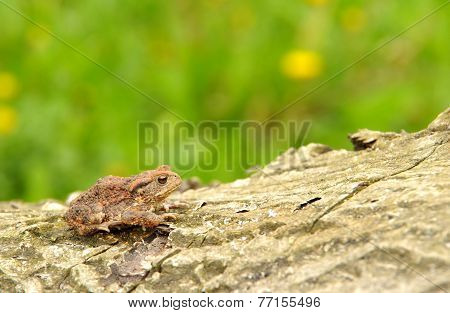 Toad Frog