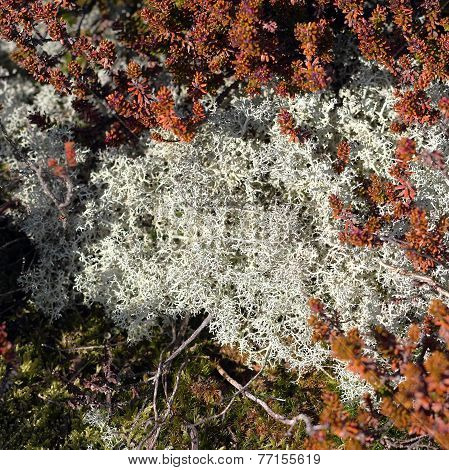Reindeer Moss And Black Crowberry