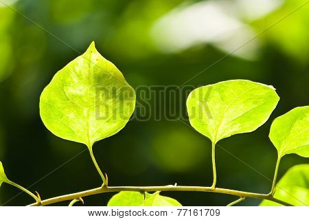 Leaf Against The Light