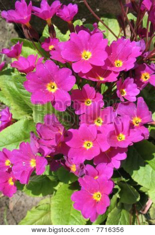 Flowers primrose Julia (Rrimula juliae). Spring, May