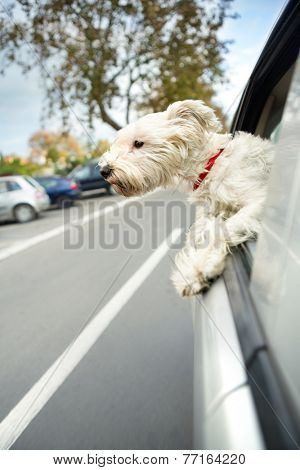 Small dog maltese sitting in a car with open window