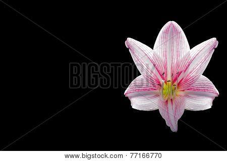 Amaryllis Flower On Black Background,spacing,caption