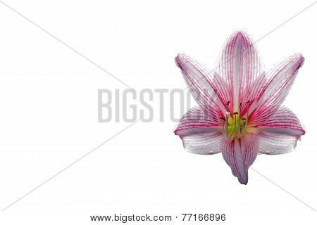 Amaryllis Flower On White Background,spacing,caption