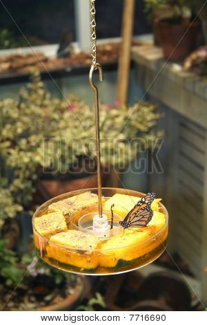 Stock Image Of  Monarch Butterfly On Feeder