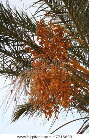 Stock Image Of Date Palm