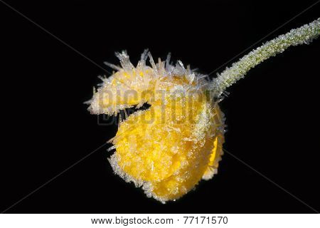 Yellow Flower Of A Buttercup Is Covered With Hoarfrost On A Black Background