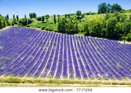 lavender field Plateau de Valensole Provence France