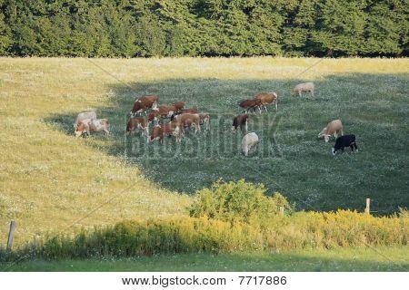 A herd