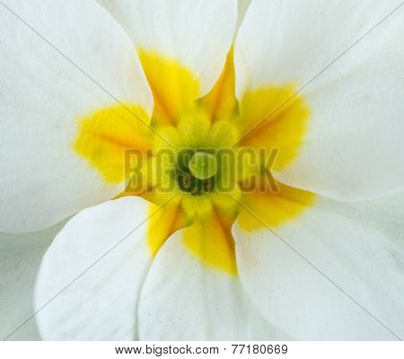 White Primula Flowers