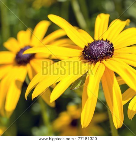 Flowers Of The Echinacea Or Coneflower.