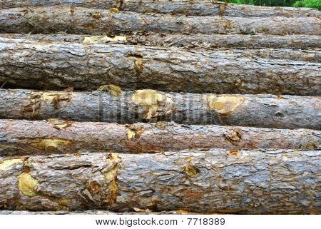 Pine Logs Cut