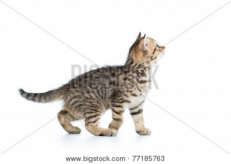 side of view of kitten cat isolated