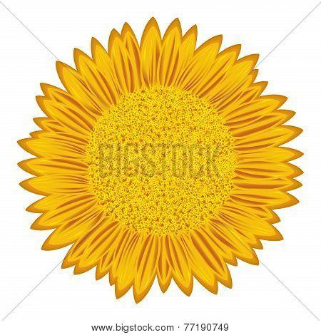 Sunflower Over White