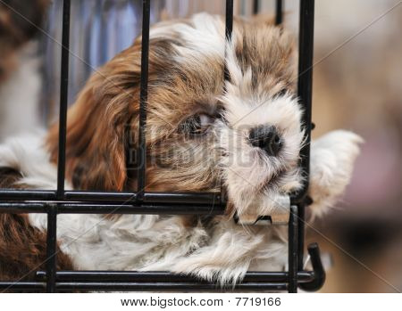 Puppy Shihtzu In Cage