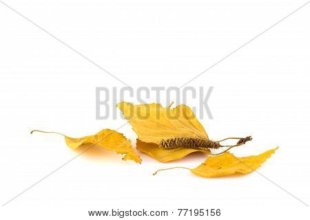 Group Of Birch Leaves On A White Background