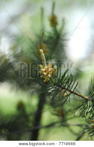 Bud of the pine