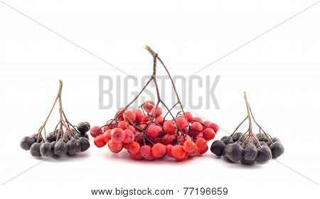 Bunch Of Red And Black Rowan On A White Background