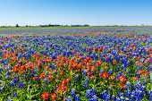 foto of texas star  - A Beautiful Wide Angle View of Bright Orange Paintbrush and Bluebonnet Wildflowers in a big Field in Texas - JPG
