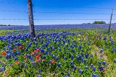 foto of texas star  - A Wide Angle View of a Beautiful Field Blanketed with the Famous Texas Bluebonnet  - JPG