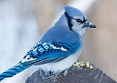 stock photo of blue jay  - A Blue Jay perched on a wood post - JPG