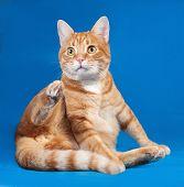 stock photo of blue tabby  - Ginger tabby cat sitting on blue background - JPG