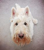 image of scottie dog  -  a cute white scottie sitting on the ground looking at the camera  - JPG
