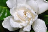 image of white roses  - A close up of a white flower covered by morning dew - JPG