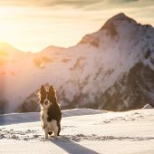 foto of snow border  - Border collie in the snow during the sunset - JPG