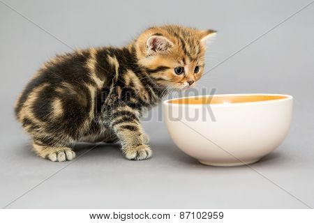 Small, British Kitten And A Bowl Of Food