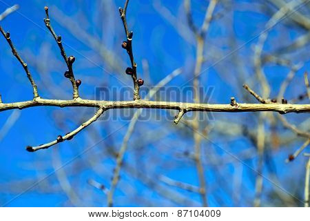 Swelling buds on the branch in early spring