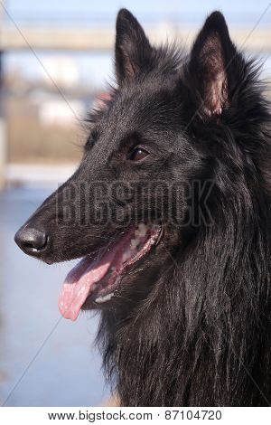 dog grunendal Belgian sheep-dog