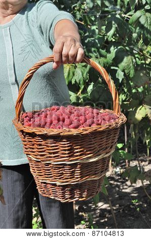 Basket Of The Ripe Raspberry