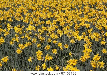 Field Full With Narcissus In The Spring In Holland