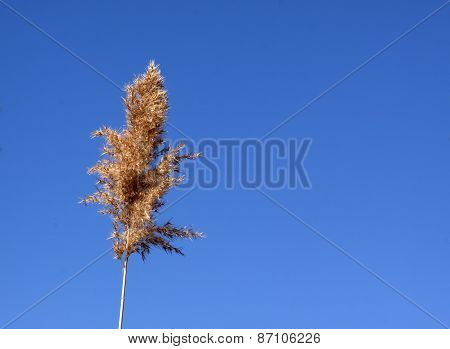 Reed Plume In The Spring Sum