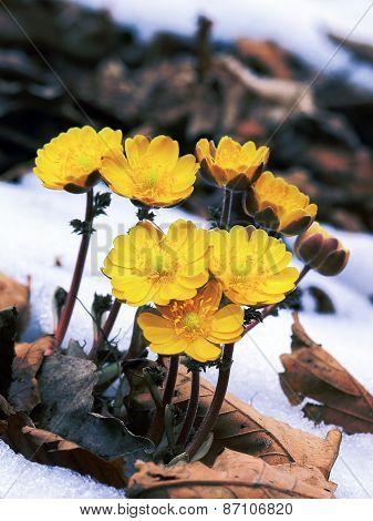 spring primrose yellow