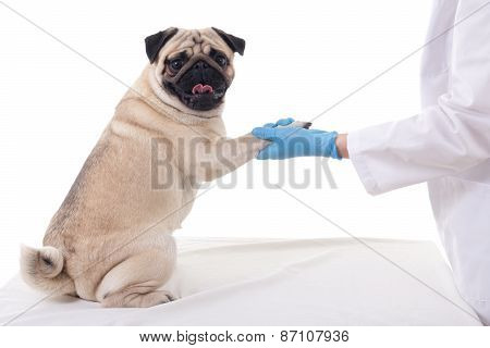 Pug Dog Giving His Paw To Vet Isolated On White