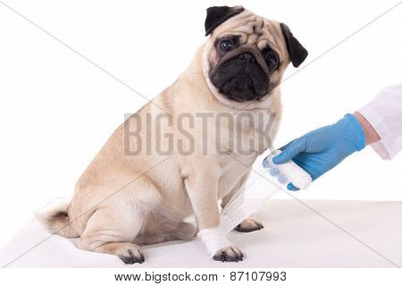 Veterinarian Putting Bandage On Injured Paw Of Dog