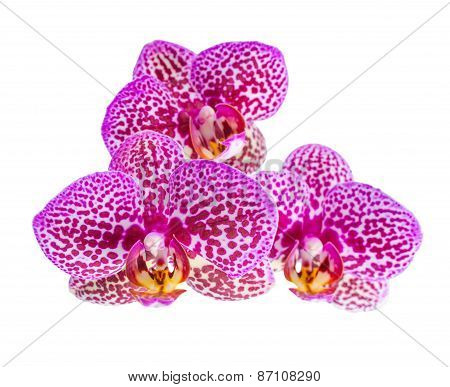 Blooming Branch Of Beautiful Purple Spotted Orchid, Phalaenopsis  Is Isolated On White Background, C
