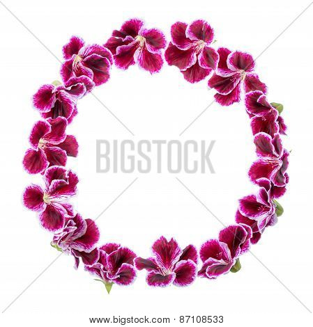 Circle Frame Of Blooming Velvet Purple Geranium Flower Is Isolated On White Background. Royal Pelarg