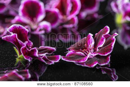 Beautiful Spa Concept Of Geranium Flower In Reflection Water, Royal Pelargonium, Closeup